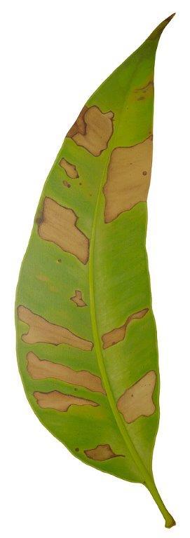 Gum leaf green - Original SOLD