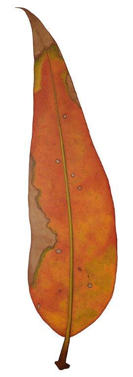 Gum leaf orange - Original SOLD